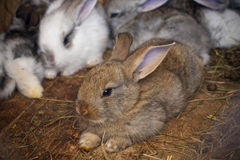 Rabbits family Stock Images