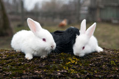 Rabbits on the farm Royalty Free Stock Image