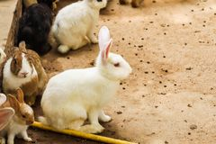 Rabbits in the farm royalty free stock photography