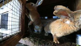 Rabbits on the farm stock video footage