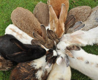 Rabbits feeding. Funny moment when rabbits are butting their head for food Royalty Free Stock Photos
