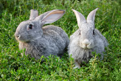Rabbits in grass Royalty Free Stock Image