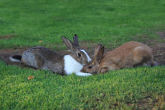 Rabbits on a grass Stock Image