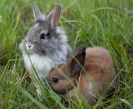 Rabbits in grass. Stock Photos