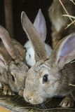 Rabbits. Gray Rabbits in a cage Stock Image