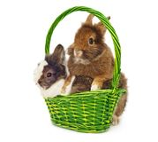 Rabbits in green basket Royalty Free Stock Images