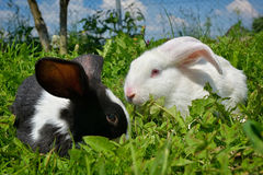 Rabbits on green grass. Black and white Rabbits on green grass Stock Images