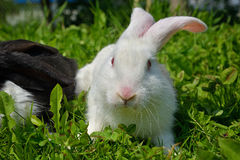 Rabbits on green grass. White Rabbits on green grass Royalty Free Stock Photos