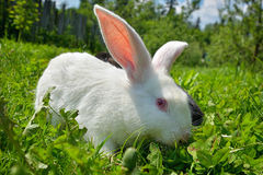 Rabbits on green grass. White Rabbits on green grass Stock Image