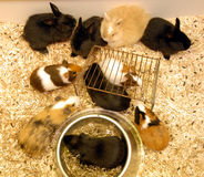 Rabbits and guinea pigs Royalty Free Stock Image