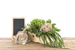 Rabbits with herbs Stock Image