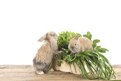 Rabbits with herbs Royalty Free Stock Image