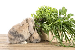 Rabbits with herbs Royalty Free Stock Photography