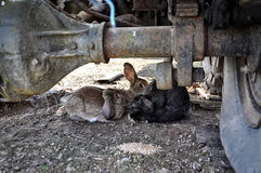 Rabbits hidden under the car. Animal close-up photography. Rabbits hidden under the car Stock Photography