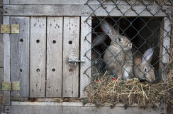 Rabbits in a hutch. Rabbits in a wooden hutch stock photos