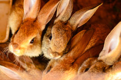Rabbits in  a hutch Stock Image