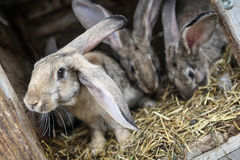 Rabbits in a hutch Royalty Free Stock Photos