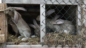 Rabbits in a hutch. Rabbits in a wooden hutch stock footage