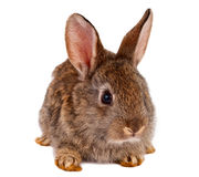 Rabbits isolated Stock Photo