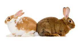 Rabbits isolated Royalty Free Stock Images