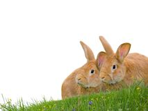 Rabbits isolated Stock Image