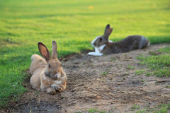 Rabbits on the lawn Stock Photography