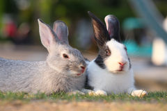 Rabbits laying on grass. Royalty Free Stock Images