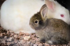 Rabbits. Little rabbit and his mother Royalty Free Stock Images