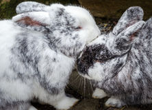 Rabbits in love Stock Photography
