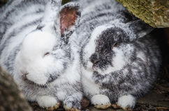 Rabbits in love Royalty Free Stock Photography