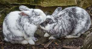 Rabbits in love Royalty Free Stock Photos