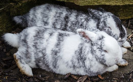 Rabbits in love Royalty Free Stock Images
