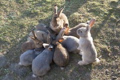 Rabbits at lunch Royalty Free Stock Image
