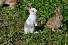 Rabbits on the meadow Stock Images