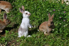 Rabbits on the meadow Stock Photography
