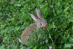 Rabbits on the meadow Royalty Free Stock Photo
