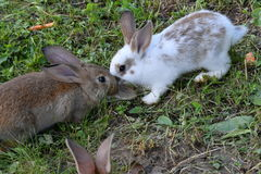 Rabbits on the meadow Royalty Free Stock Image