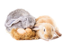 Rabbits and nestle. Rabbits near nestle with eggs isolated on white. Easter time Royalty Free Stock Photo