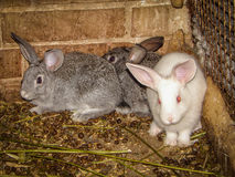 Rabbits. A pet rabbit is a domesticated variety of the wild (European) rabbit. Domestic rabbits are different from their wild ancestors a variety of sizes Royalty Free Stock Photography