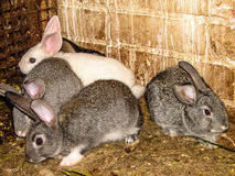 Rabbits. A pet rabbit is a domesticated variety of the wild (European) rabbit. Domestic rabbits are different from their wild ancestors a variety of sizes Stock Photo