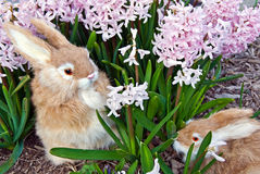 Rabbits in pink hyacinth garden Stock Photos