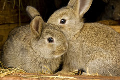 Rabbits rabbit breeding. Two young cute bunnies or rabbits in rabbit-hutch on a farm, bunny animals Stock Photos