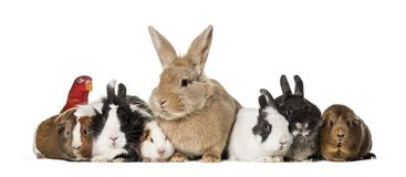 Rabbits. Guinea Pigs and chattering lory parrot sitting against white background Royalty Free Stock Images