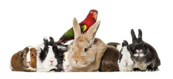 Rabbits. Guinea Pigs and chattering lory parrot sitting against white background Stock Image