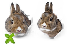 Rabbits. Looks through a hole in a paper Royalty Free Stock Image