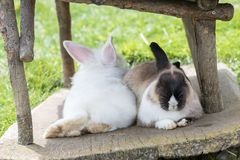 Rabbits rest resting in a mountain place. Lagazuoi, Italy - August 25, 2018: Rabbits rest resting in a mountain place royalty free stock images