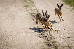 The rabbits running around the field Royalty Free Stock Photo