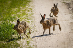 The rabbits running around the meadow Stock Images