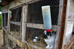 Rabbits in the shed. Farm animal in cage. Caged bunnies on the barn yard Stock Image