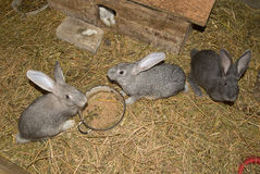 The rabbits is in the shed on the farm Royalty Free Stock Photography